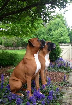 Luke & Leia. 6 months ❤ Big Dogs, I Love Dogs, Cute Dogs, Dogs And Puppies, White Puppies, Baby Puppies, Doggies, Boxer Dog Puppy, Boxer Breed