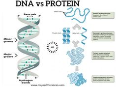 Difference between DNA and Protein (DNA vs Protein). Side by side simplified points
