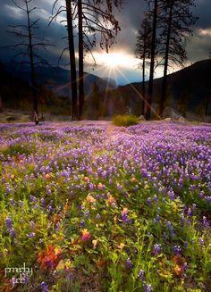 Yosemite Wildflowers   Jeff Sullivan