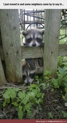 Trash Panda Pics That Prove Theyre The Cutest Animal In - Trash Panda Is Not A Nickname Bestowed Lightly On These Critters Raccoons Belong To The Biological Suborder Caniformia Which Also Includes Dogs Bears And You Guessed It Red Pandas A Animals For Kids, Cute Baby Animals, Animals And Pets, Funny Animals, Strange Animals, Funny Raccoons, Safari Animals, Squirrels, Wild Animals