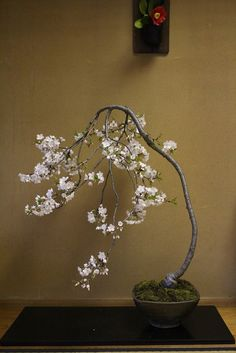 Bonsai Tree Types, Bonsai Plants, Bonsai Garden, Cherry Bonsai, Mini Bonsai, Prunus Mume, Foliage Plants, Ikebana, Cherry Blossom