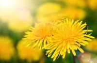 Use dandelions from a pesticide-free area. Frozen Desserts, Frozen Treats, Whitman Sampler, The More You Know, How Sweet Eats, Frozen Yogurt, Permaculture, Smoothies, Herbs