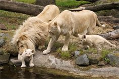 https://flic.kr/p/eJ2UDT   Family rare white lions   Family rare white lions (lion: Credo, lioness: Bandhura, two three month old cubs: Inkosi and Ilumbo) in Ouwehands Zoo (Ouwehands Dierenpark) in Rhenen, the Netherlands.  One of the cubs came too close to the water. Dad corrects the whelp. Mom looks attentively and with care.  For centuries rumors of mysterious white lions had been circulating in South Africa. Confirmation of the existence of white lions only came in the twentieth…