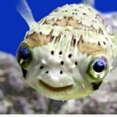 I had porcupine puffer in the past and they are just to cute.