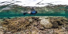 As El Niño takes hold in the Pacific, the island state braces for a record coral bleaching event.