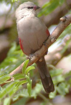 Cinderella Waxbill (Estrilda thomensis) - a near-threatened species of estrildid finch found in drier regions of south-western Angola around Namibe Province, north and east to south-west Huila Province and north to Fazenda do Cuito in Huambo and extreme north-western Namibia.