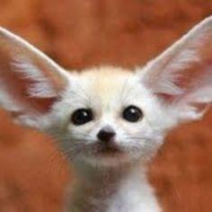Zorro Fennec, Fennec Fox Pet, Welsh Corgi Pembroke, Cute Corgi Puppy, Shih Tzu Puppy, Corgi Puppies, Animals And Pets, Baby Animals, Cute Animals