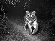 Tripwire for a Tiger