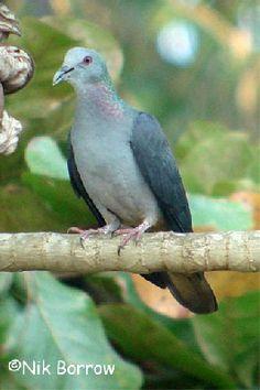 São Tomé Bronze-naped Pigeon aka Island Bronze-naped Pigeon (Columba malherbii) by Nik Borrow