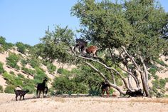 Argan tree (Argania spinosa) with goats. This tree is endemic to the Sous valley in Morocco. It is cultivated for the oil (argan oil) that i...