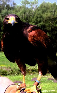 Bird of Prey (Harris Hawk)
