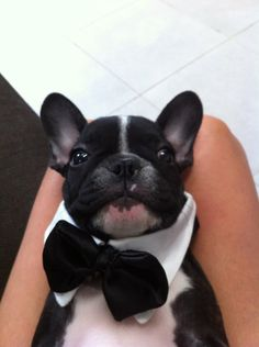 Ready for dinner...    (Okay it's a Frenchie on mt BT board but he's CUTE!)
