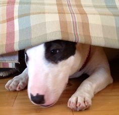 mini bull terrier playing Peek-a-boo!