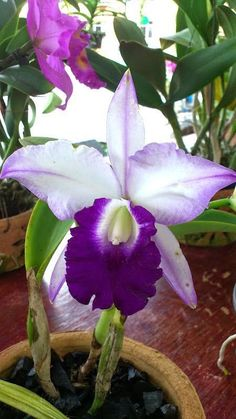 Imagem de hawaii, lavender, and orchid