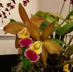 Orchid Cattlianthe