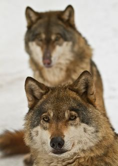 Eurasian Wolves(by Michal Petro)