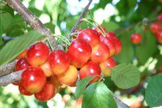 It is U-Pick Cherry season! Copelands Cherry U-pic Organic Cherries Leona Valley California