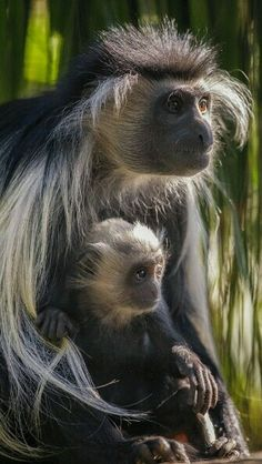 Angolan Colobus monkey mom and her two-month-old by Darin Sugioka. Fun fact: Burping is a friendly social gesture among the leaf-eating colobus monkeys. Nature Animals, Animals And Pets, Baby Animals, Funny Animals, Cute Animals, Primates, Mammals, Beautiful Creatures, Animals Beautiful