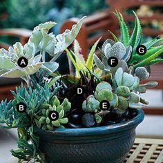 Succulent Container;  A. Felt bush (Kalanchoe beharensis) B. Harpoon daisy (Senecio cuneatus) C. Moonstones (Pachyphytum oviferum) D. Black mondo grass (Ophiopogon planiscapus 'Nigrescens') E. Silver dollar jade (Crassula arborescens) F. Warty panda plant (Kalanchoe tomentosa) G. Medicinal aloe (Aloe vera)