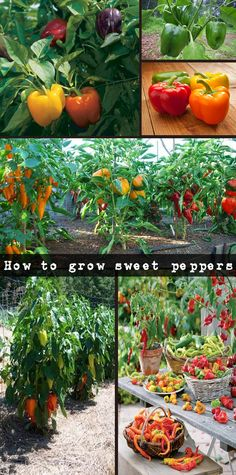 How to grow sweet peppers – useful tips