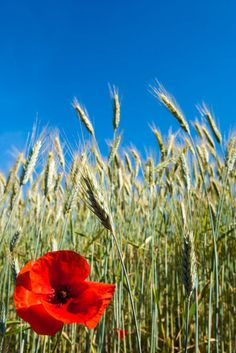 'Corn poppy in the corn field - Klatschmohn im Kornfeld' by Ralf Rosendahl on artflakes.com as poster or art print $16.63
