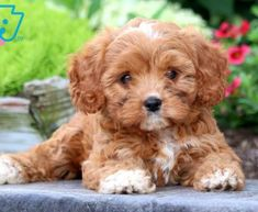 Cute Small Dogs, Super Cute Puppies, Cute Dogs And Puppies, Baby Dogs, Pet Dogs, Doggies, Mixed Breed Puppies, Dogs For Sale, Chihuahua Dogs