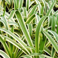 Sun Stripe Agapanthus~Perennials for 2012