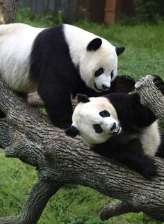 Why do Pandas always look like they are having fun and playing??! I love it!!