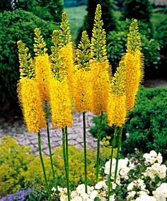 Foxtail Lily | Plants from Bakker Spalding Garden Companyn , you can plant them directly into the garden. Prepare a wide, shallow hole (approximately 10 cm deep) and loosen the soil thoroughly. In the bottom of the hole, add a layer of coarse sand or grit to help with the drainage. Spread the roots of the foxtail lily well and place in the hole at the correct depth. The top of the roots should be approximately 5 cm below ground level. Flowers Jun July August 100cm high