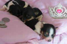 Biewer Females  1 week old