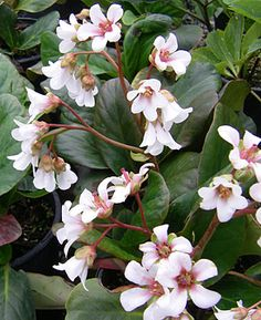 Bergenia omeiensis 'Snow Chimes'