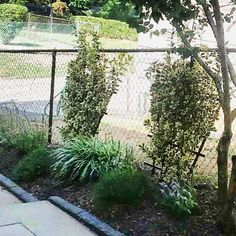 Euonymus, Camila, Coreopsis, Anisehyssop planted in Clifton Heights, PA   Get yours planted today!  YOUBUYWEPLANT.com 610-500-1210
