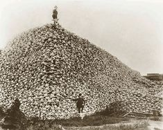 People are saying this is a pile of passenger pigeons, but I've seen similar photos of piles of Buffalo skulls... This doesn't look like skulls, and it does look like birds... so I'm adding it to the page
