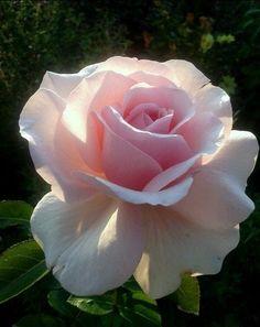🌹🌹 BEAUTIFUL ROSE 🌹🌹