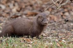 Mink are part of the family that includes weasels, badgers, otters and wolverines - all carnivores! If they can't eat their entire meal, they'll store some for later.  Photo: Mink courtesy of Dave Inman/Creative Commons.