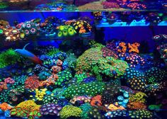 Summary: When one needs to trace tropical reef species he just needs to see the how bright and colored are these fish. They can always improve the sight of an aquarium. Coral Reef Aquarium, Saltwater Aquarium Fish, Saltwater Tank, Marine Aquarium, Fish Aquariums, Coral Reefs, Marine Fish Tanks, Marine Tank, Underwater Creatures