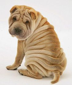 The 5 Most Wrinkly Dog Breeds - Large and Small Dogs with Photos Animals And Pets, Baby Animals, Cute Animals, Shar Pei Puppies, Dogs And Puppies, Cachorros Shar Pei, Wrinkly Dog, Sharpei Dog, Chinese Dog