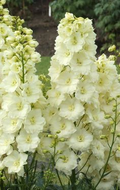 Delphinium 'Sungleam'. Delphinium. 4' tall. Blooms June-July.