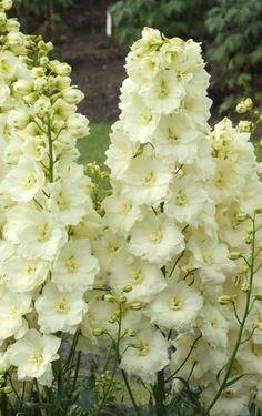 Delphinium 'Sungleam'. Delphinium. 4' tall. Blooms June-July.