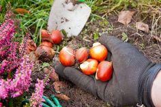Когда выкапывать и как сохранить луковицы тюльпанов, гиацинтов, нарциссов, крокусов – Полезные советы хозяйкам