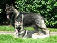 Shiloh Shepherd Dog Breed Guide - Learn about the Shiloh Shepherd Dog. German Shepherd Breeds, Belgian Shepherd, German Shepherds, Best Dog Breeds, Best Dogs, Shiloh Shepard, Giant Malamute, Wolf, Guide Dog