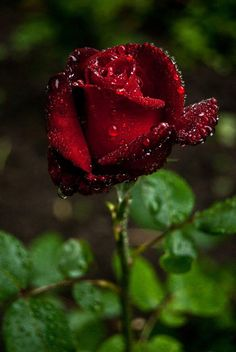 Rose. Layers of red. ❦