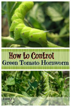 Growing Tomatoes Tips Control Green Tomato Horn Worms - Do your tomato plants look like death? Could be Green Tomato Hornworm. Here's what they look like and how to control them. Tips For Growing Tomatoes, Growing Tomato Plants, Growing Tomatoes In Containers, Growing Herbs, Garden Insects, Garden Pests, Best Tasting Tomatoes, Organic Insecticide, Plant Pests