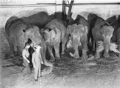 Wirths' Circus elephants, Royal Easter Show, Sydney, before 1940 / photographer Sam Hood   From the collection of the State Library of New South Wales www.sl.nsw.gov.au