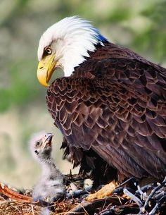 our-amazing-world:  Eagle nest near the Amazing World beautiful amazing