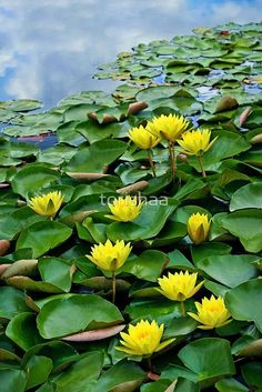 'Yellow waterlilies in pond' Greeting Card by torishaa Water Flowers, Water Plants, Flowers Nature, Exotic Flowers, Water Garden, Amazing Flowers, Lawn And Garden, Pretty Flowers, Yellow Flowers