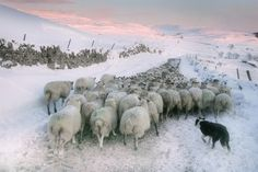 Bad weather causes sheep to be moved from Malham moor to the lowlands. | 29 Of The Most Powerful News Images Of 2013