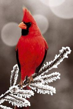 Cardinal in the winter Cardinal rouge. (Cardinalis cardinalis ). Il a un instinct territorial si développé qu'il passe parfois des heures à se battre contre son propre reflet qu'il prend pour un intrus.