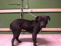 BUDDY - ID#A4965738\r\n\r\nMy name is Buddy and I am described as a neutered male, black Pit Bull Terrier\r\n\r\nThe shelter thinks I am about 1 year and 2 months old.\r\n\r\nI have been at the shelter since Feb 07, 2017.\r\n\r\nFor more information about this animal, call:\r\nLos Angeles County Animal Control - Carson at (310) 523-9566\r\nAsk for information about animal ID number A4965738