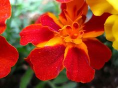 Red & Yellow Flower